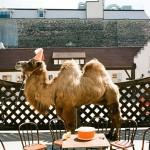 wilco-camel